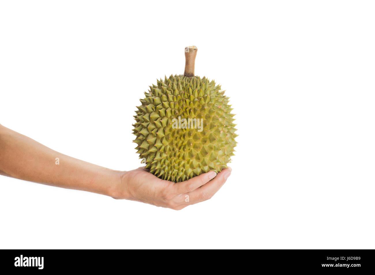 Hand holding ripe durian fruit isolated on white background - Stock Image