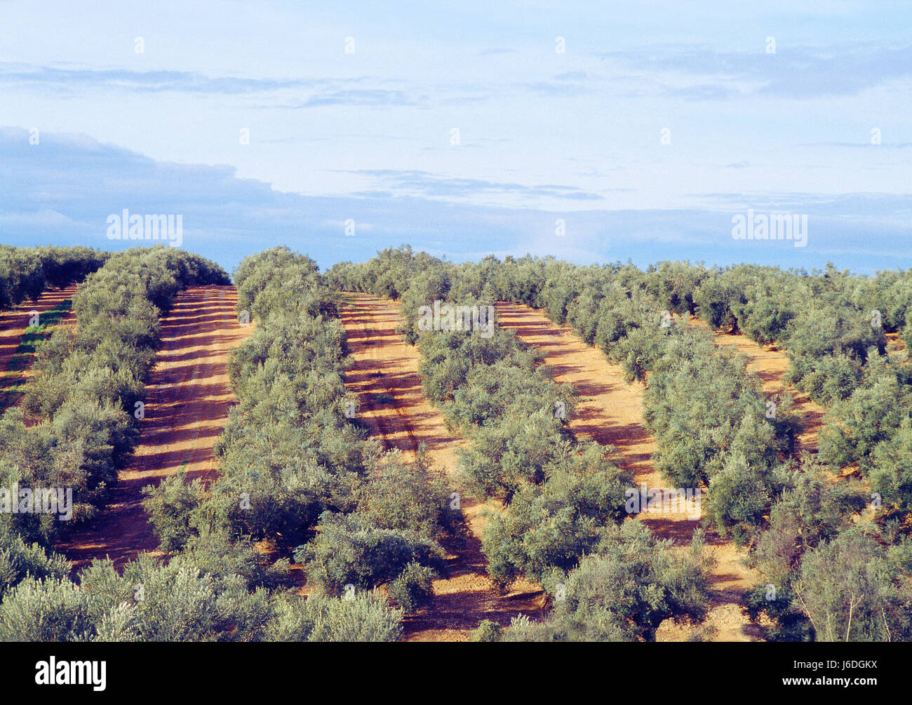 Olive grove. Baeza, Jaen province, Andalucia, Spain. - Stock Image