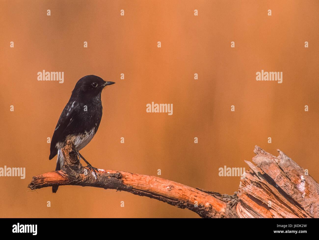 Pied bush chat, (Saxicola caprata),Keoladeo Ghana National Park, Bharatpur, Rajasthan, India - Stock Image