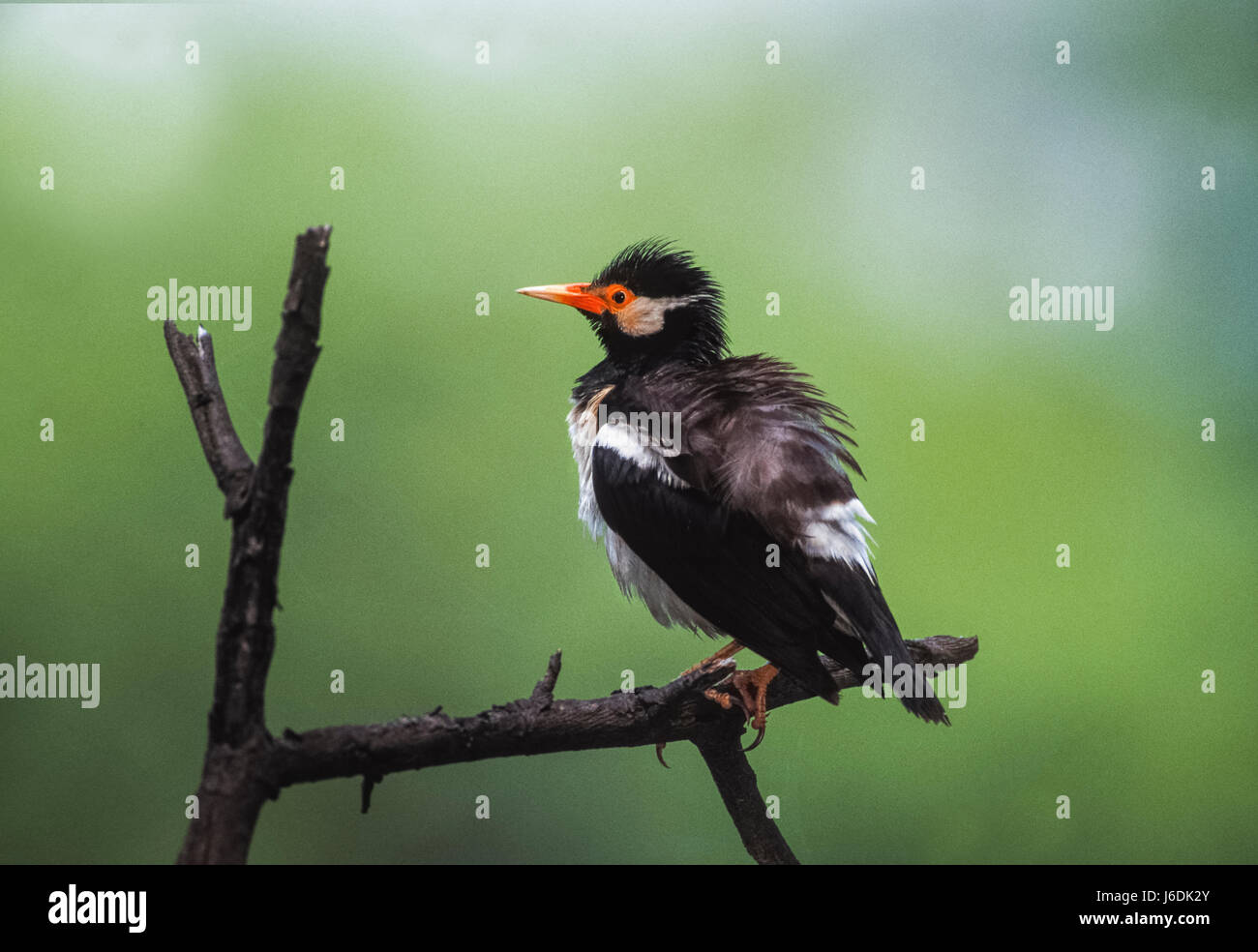 Pied Myna,(Gracupica contra), also called Asian Pied Starling, shaking out feathers, Keoladeo Ghana National Park,India - Stock Image