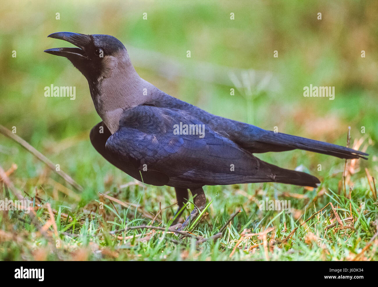 House Crow, , cooling down with beak open,Keoladeo Ghana National Park, Bharatpur, Rajasthan, India - Stock Image
