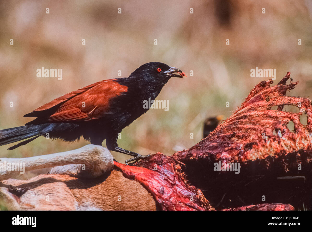 Greater Coucal, Centropus sinensis, feeding on a Spotted Deer, Axis Deer or Chittal, Keoladeo Ghana National Park, - Stock Image