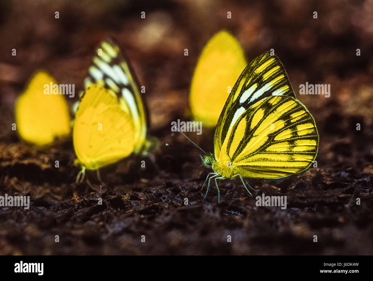 Indian Pioneer and Common Grass Yellow Butterflies, Belenois aurota aurota and Eurema hecabe hecabe, Keoladeo Ghana - Stock Image