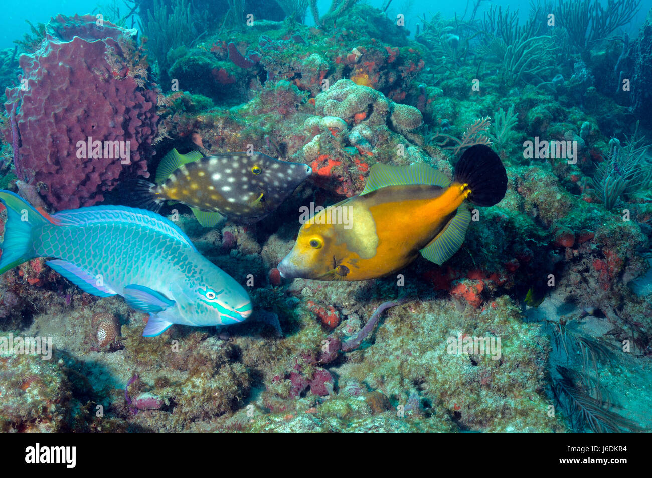 spotted filefish and stoplight parrotfish - Stock Image