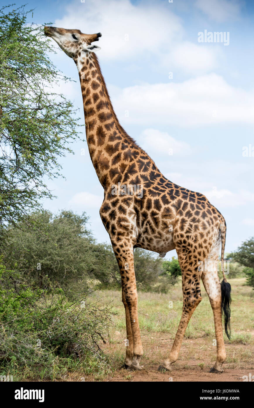 Male giraffe eating from the top of the tree in Kruger National Park, South Africa - Stock Image