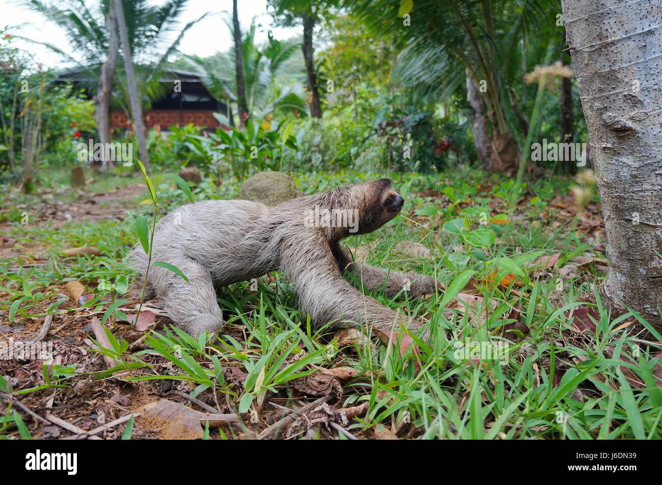 A three-toed sloth crawling on the ground in a garden near an house, Panama, Central America Stock Photo