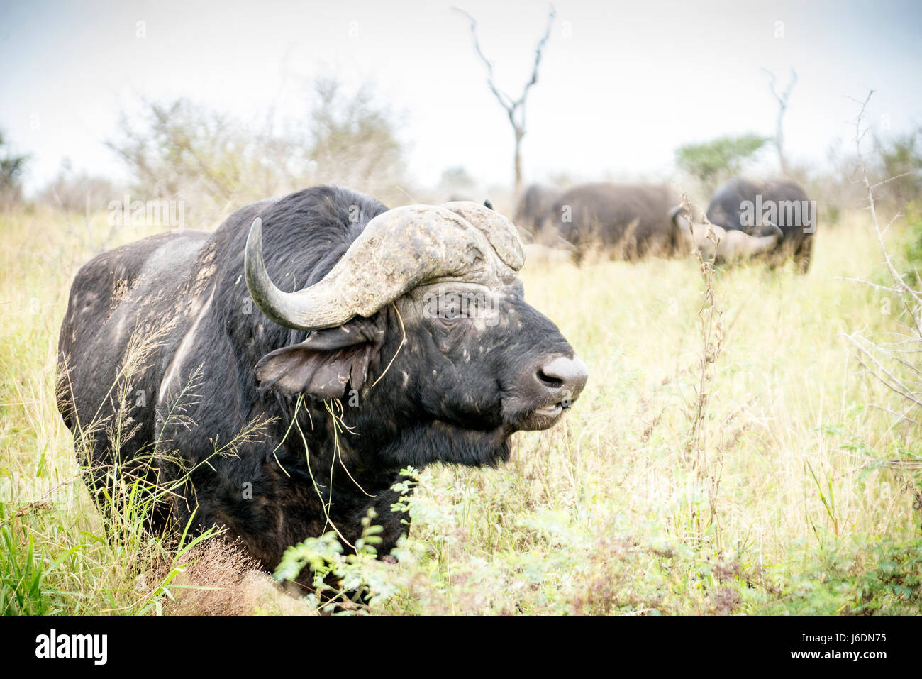 African buffalo in the grass in Kruger National Park, South Africa - Stock Image