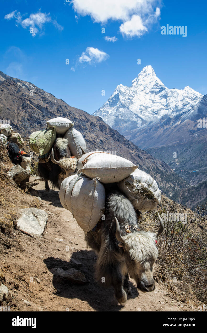 Yaks move supplies on the trail to Everest in the Khumbu Region with Ama Dablam (6856 meters), on the horizon, Sagarmatha - Stock Image