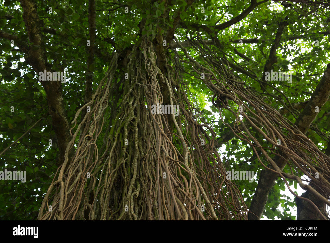 Trunks of a banyan tree at Belabo. Narsingdi, Bangladesh. - Stock Image