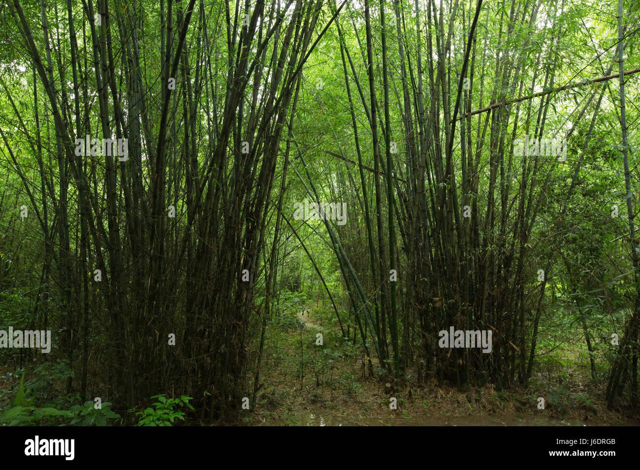 Bamboo plantation at Belabo. Narsingdi, Bangladesh. - Stock Image