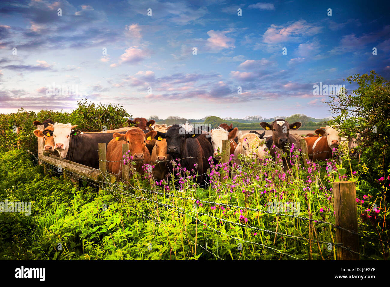 A herd of cows looking curiously over the fence in a rural Dorset pasture - Stock Image