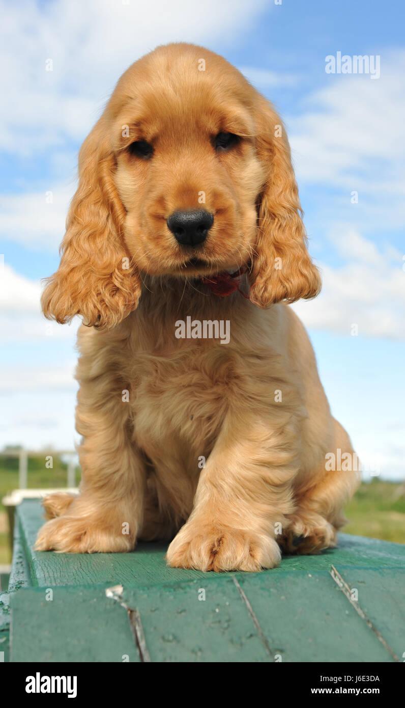 dog puppy english maddening pert coquettish cute beautiful beauteously nice - Stock Image