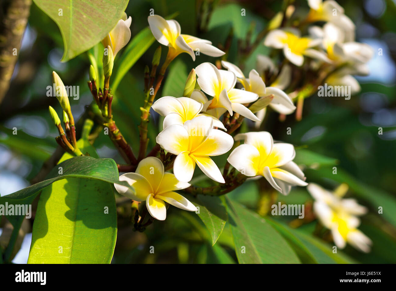 Blossoming Of Mango Tree Mango Flower Consists Of 5 Petals Of White