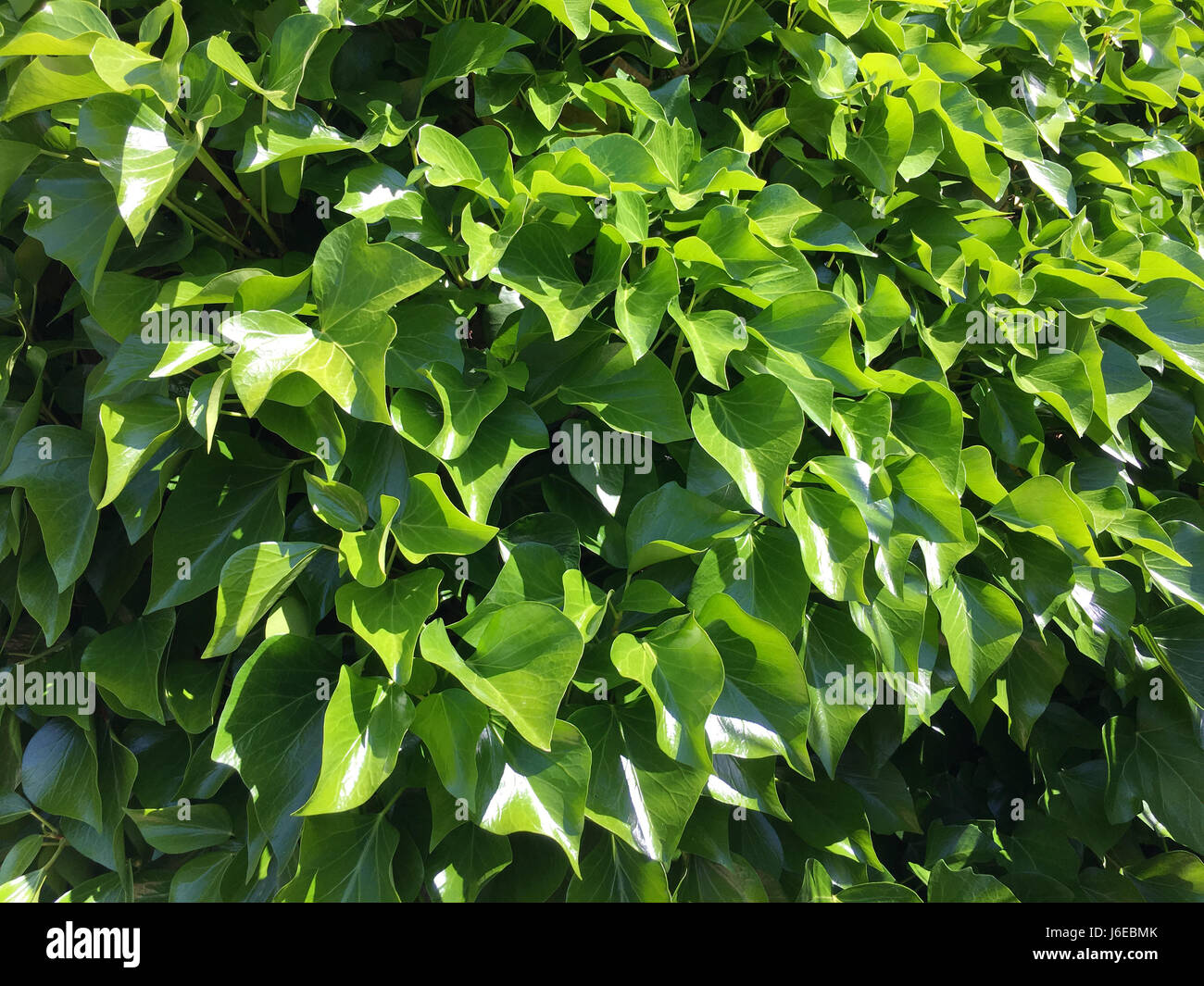 Hedera Hibernica Stock Photos & Hedera Hibernica Stock