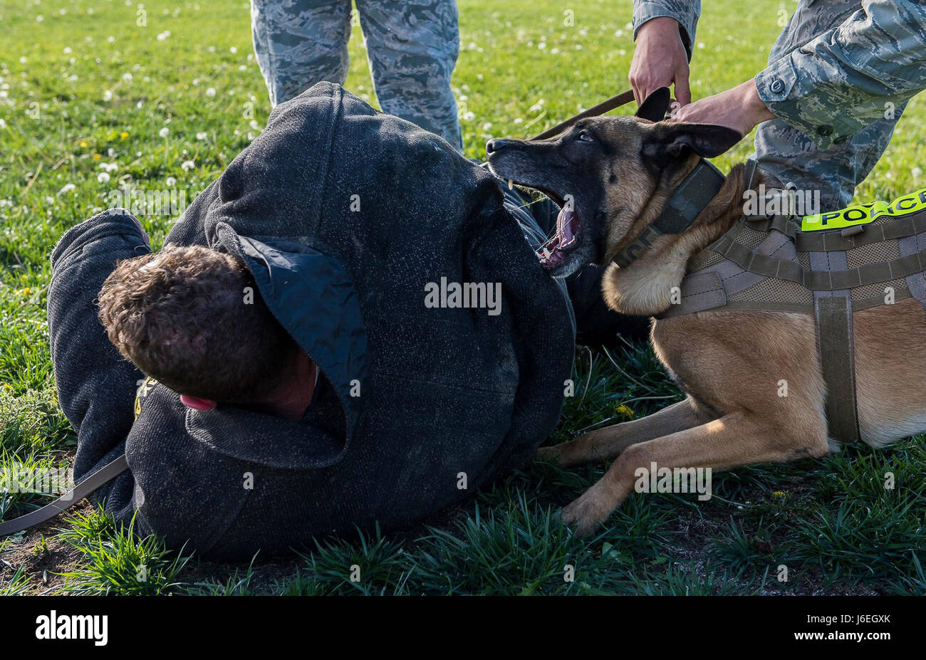 Vvass, 366th Security Forces Military Working Dog, Sinks His Teeth In To  The Back Of A Decoy November Of 2015 At Mountain Home Air Force Base, Idaho.