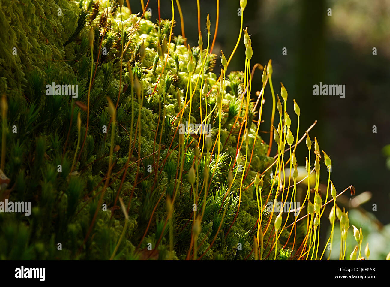 Forest in forest.Spurs on forest floor lightened by natural sunlight in dark woodland of Snowdonia National park,North - Stock Image
