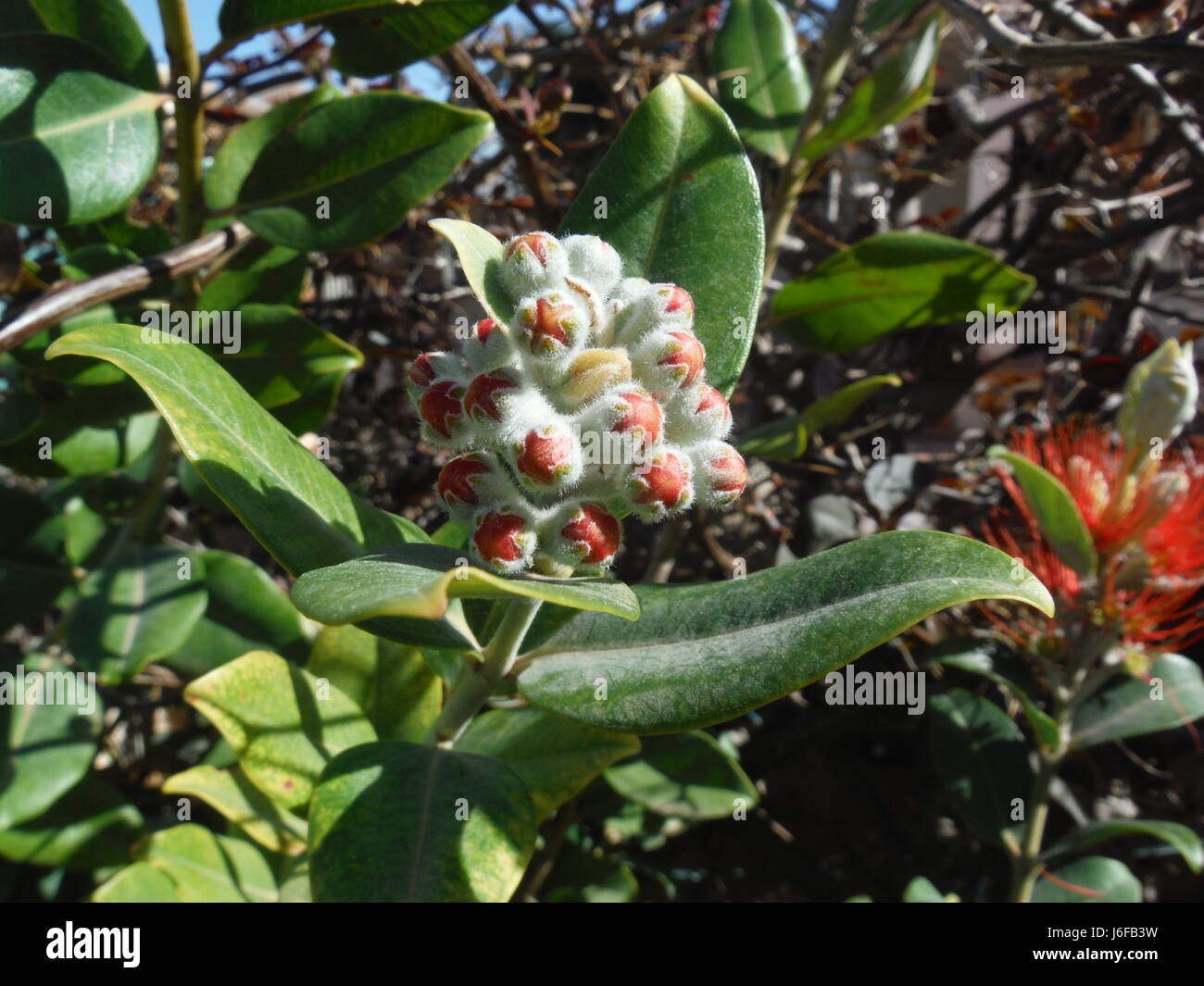 New Zealand Christmas Tree.Pohutukawa New Zealand Christmas Tree Bud Stock Photo