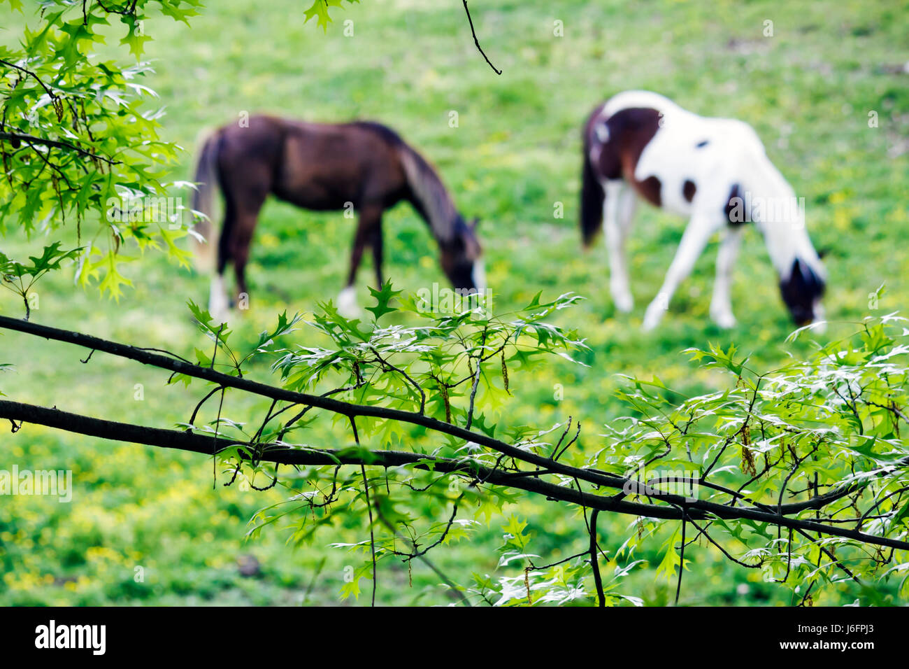 Tennessee Sevierville Five Oaks Riding Stables horses pasture grazing bucolic pastoral branches oak leaves green - Stock Image