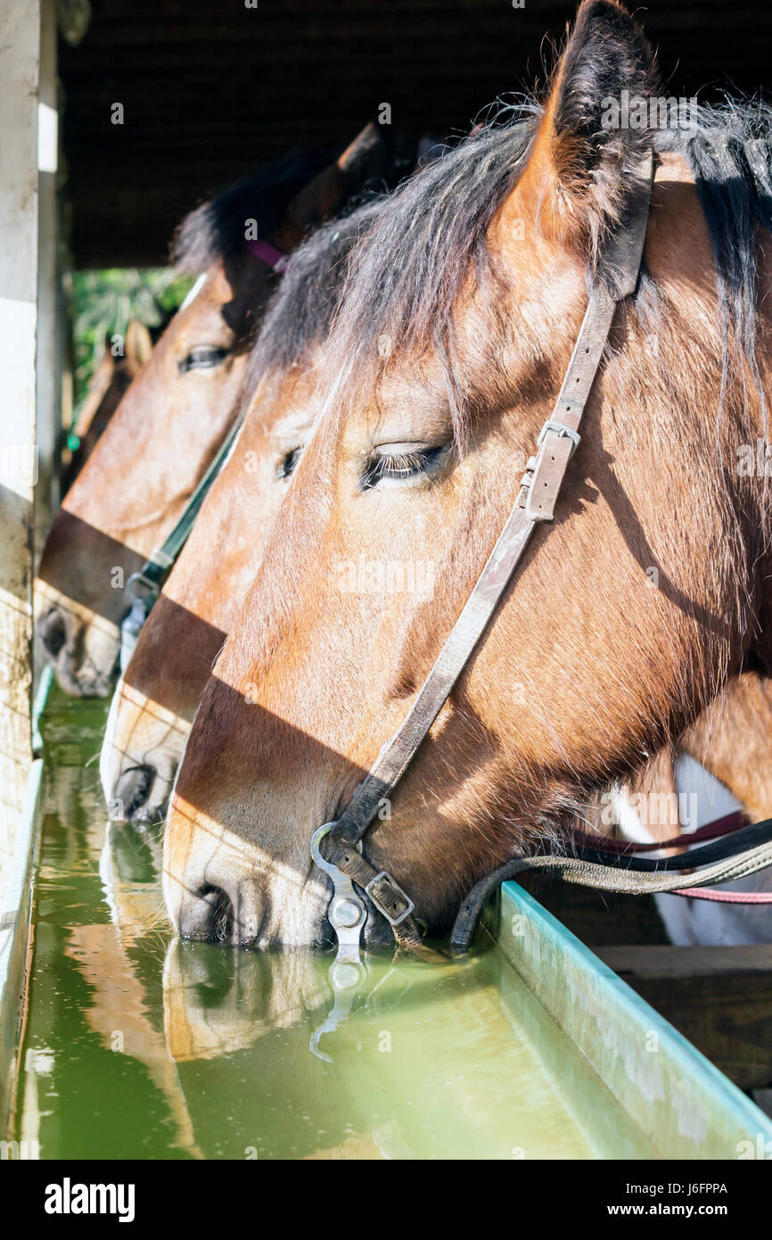 Tennessee Sevierville Five Oaks Riding Stables horses brown equine animal head water trough drinking stalls - Stock Image
