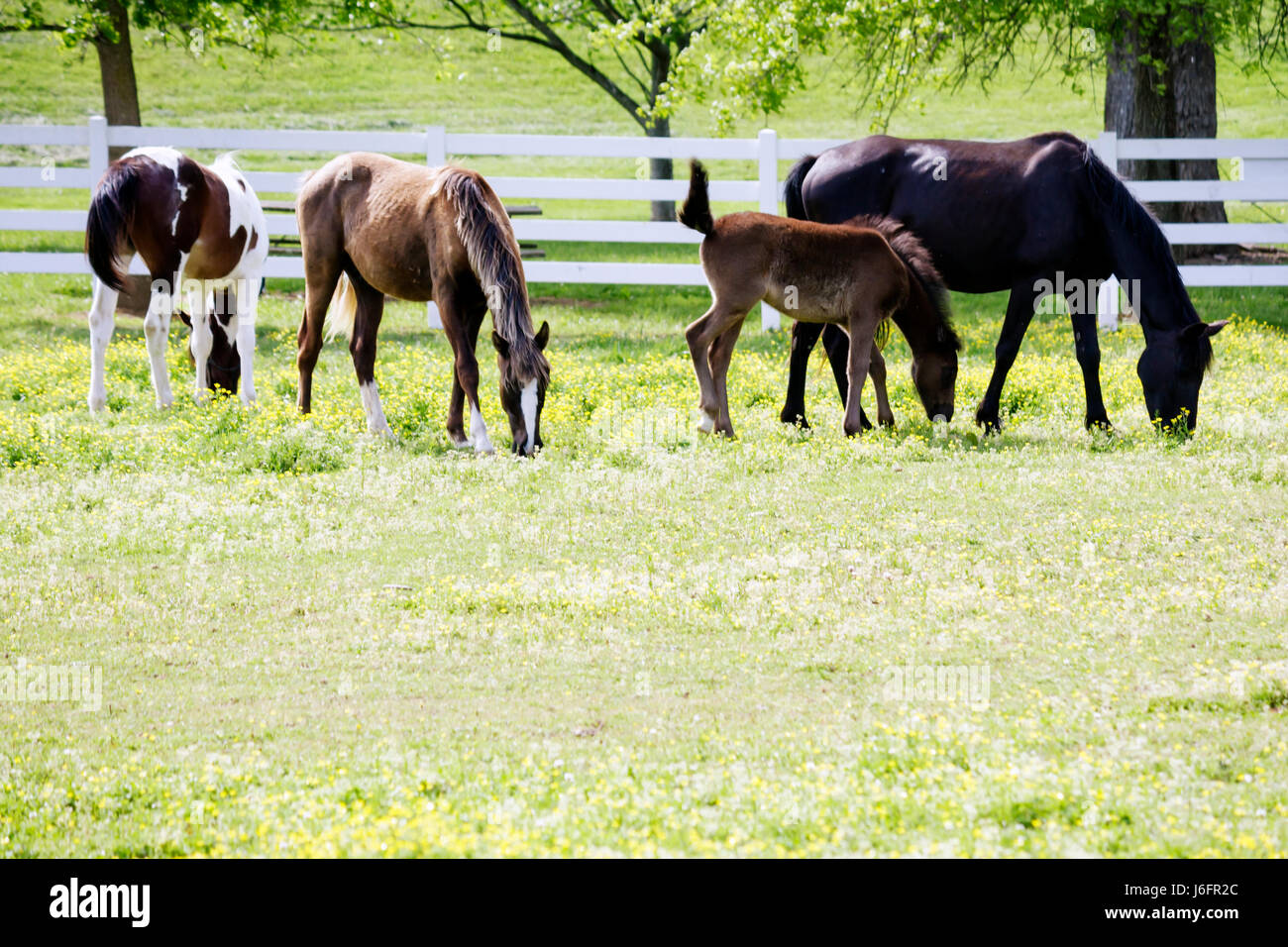 Tennessee Sevierville Five Oaks Riding Stables horse mare colt - Stock Image