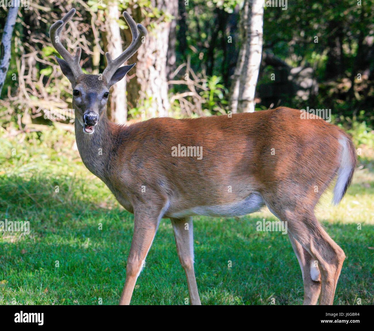 Deer Whitetail 8 Point Buck Stock Photo 141731384 Alamy