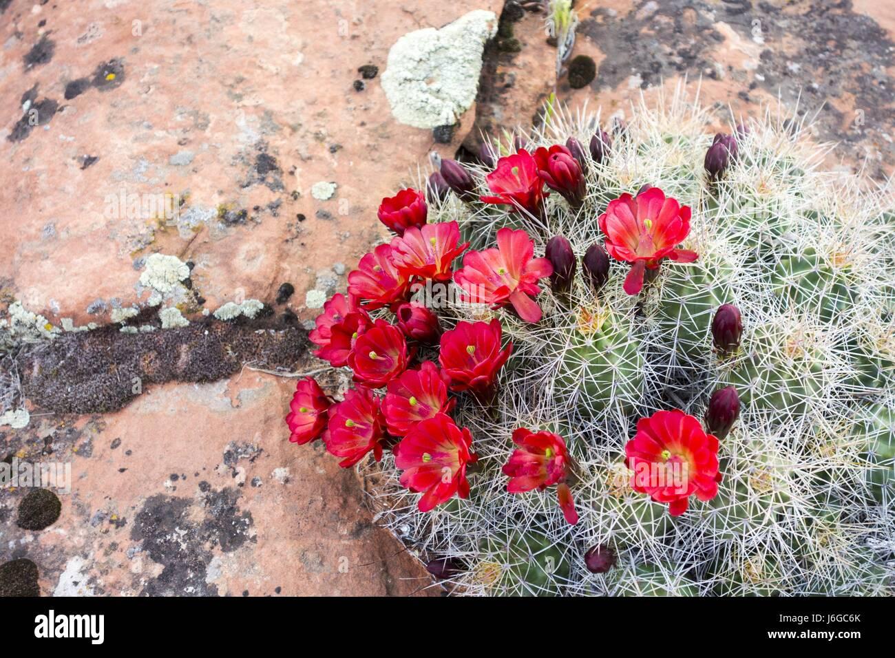 Desert Cactus Flower Bloom during Spring in South Utah - Stock Image