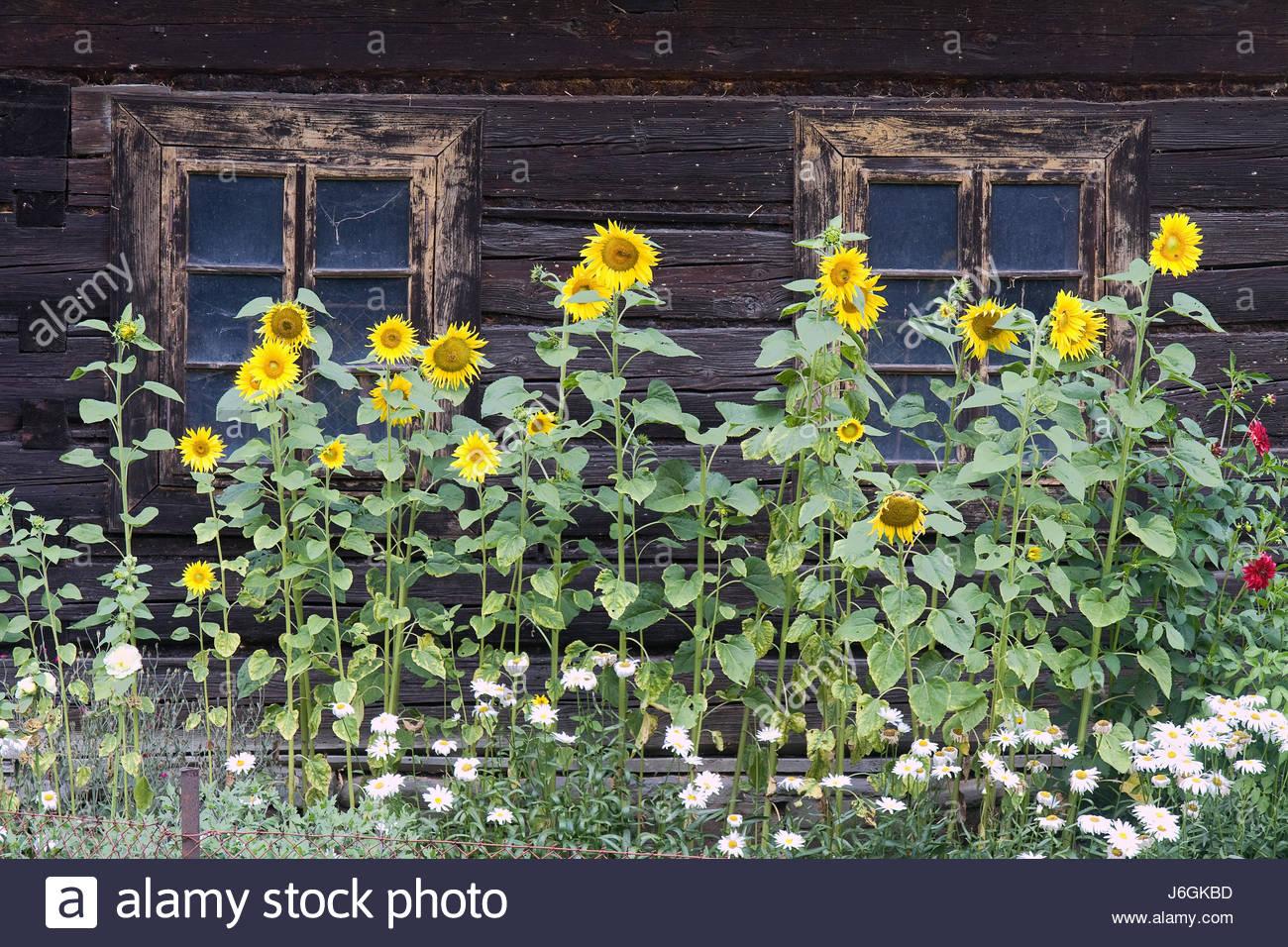 garden flower plant sunflower cottage country cabin hut garden flower plant - Stock Image