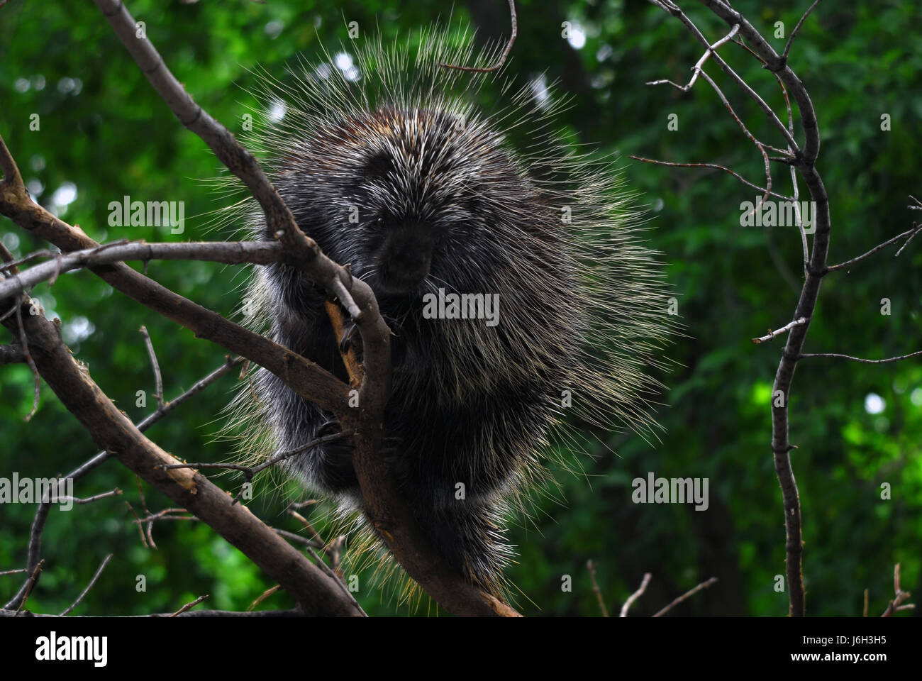 animal mammal hedge hedgehog animal mammal wood wild rodent branch wildlife - Stock Image