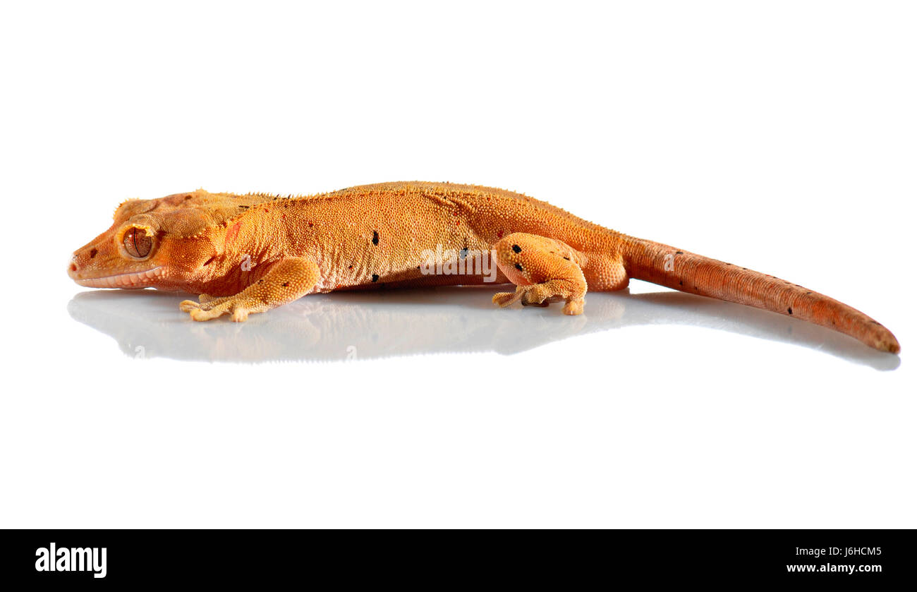 pet reptile saurian gecko crown scaly kite kites macro close-up macro admission - Stock Image