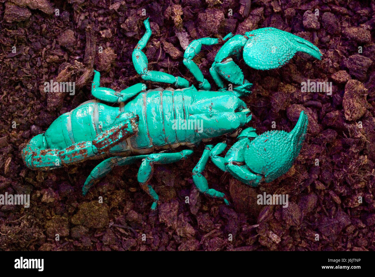 Imperial Scorpion under ultra-violet light - Stock Image