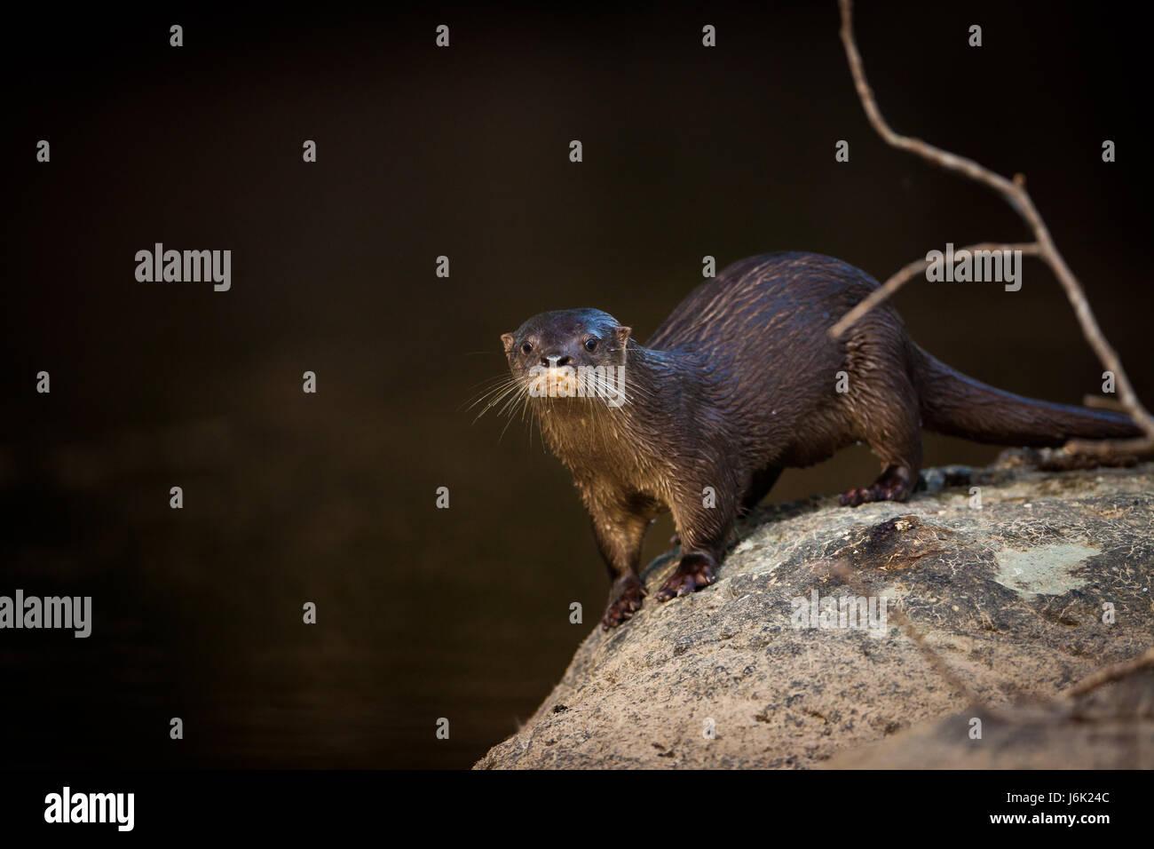Neotropical River Otter, sci.name; Lontra longicaudis, Cocle province, Republic of Panama. Stock Photo