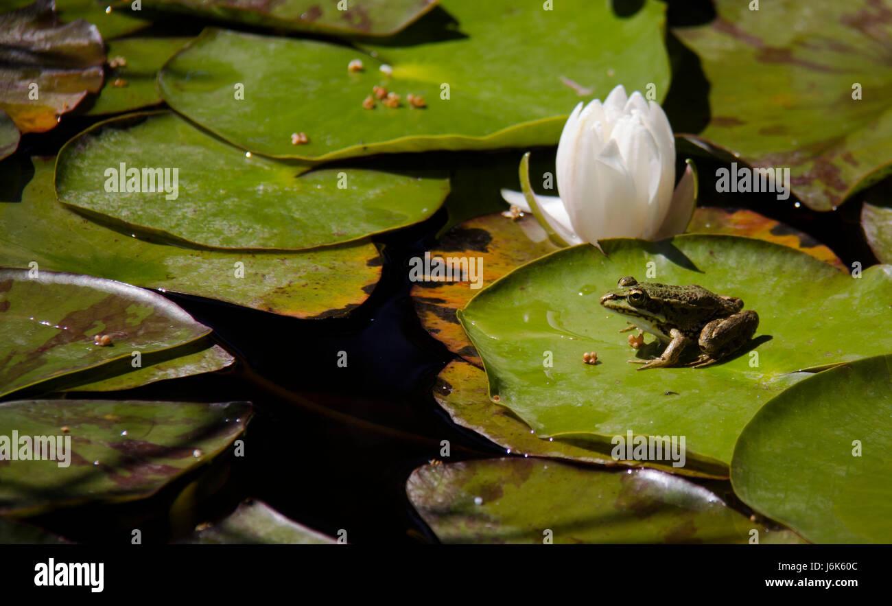 Common frog ( rana temporaria ) - Stock Image