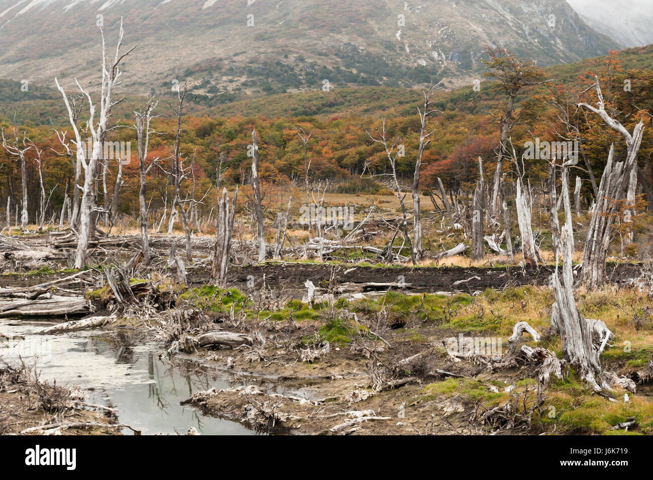 Ushuaia, Tierra del Fuego, Argentina. Environmental damage caused by beavers Stock Photo