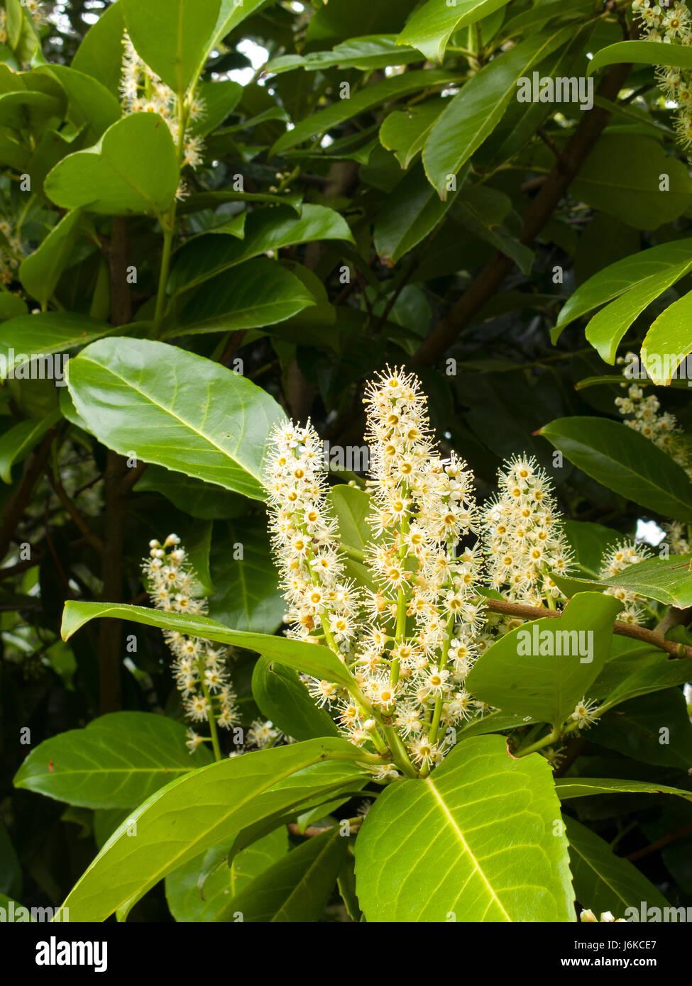 English Laurel in flower - Stock Image