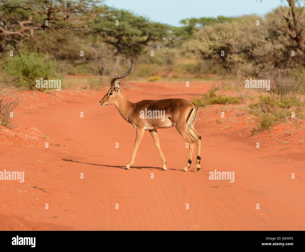 Gazelle Road Stock Photos Images Alamy Camp Roadbike Impala Red A Male Antelope On Dirt Track In Southern African Savanna Image