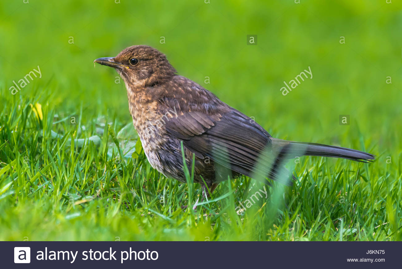 Turdus philomelos (Song Thrush) bird standing on grass in late Spring in West Sussex, England, UK. - Stock Image
