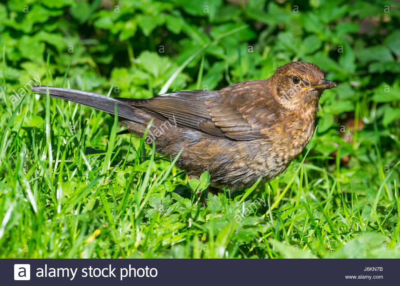 Song Thrush (Turdus philomelos) standing on grass in late Spring in West Sussex, England, UK. - Stock Image