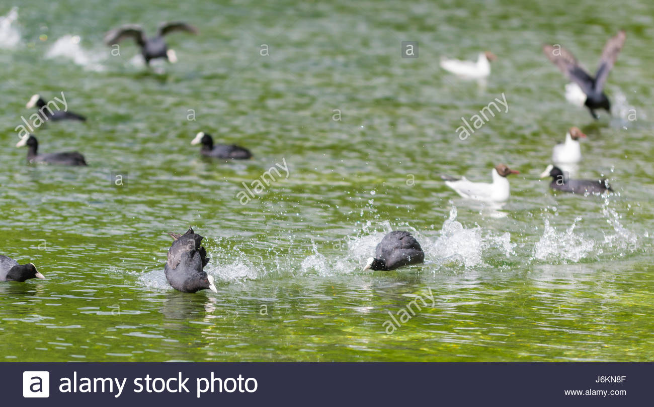 Eurasian Coots (Fulica atra) chasing other Coots on a lake in West Sussex, England, UK. - Stock Image