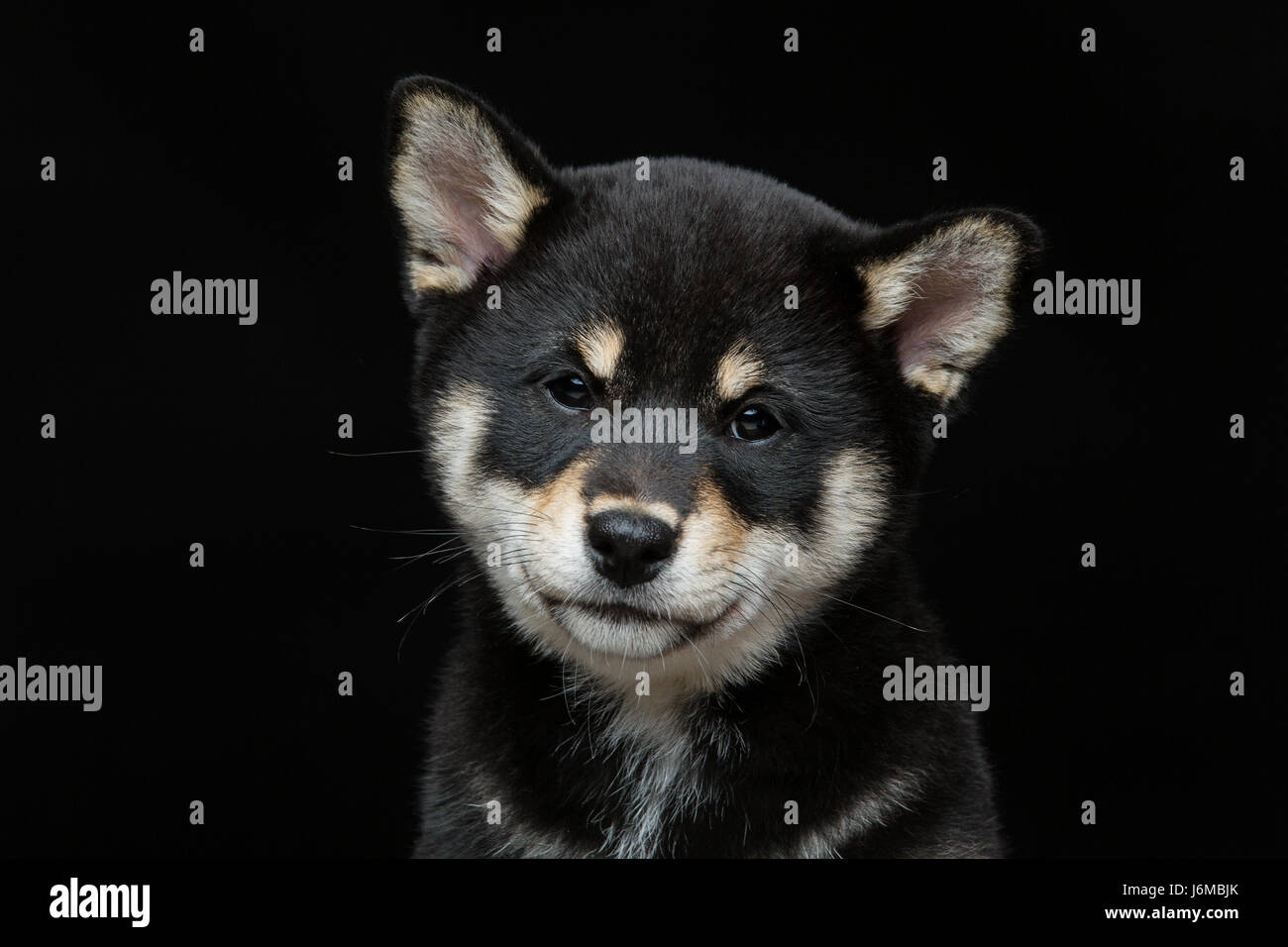 Beautiful black japanese shiba inu puppy dog sitting over black background. Copy space. - Stock Image