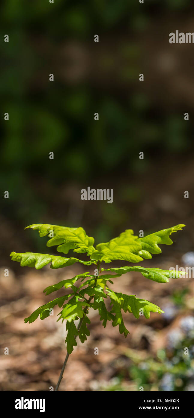 Young seedling Quercus robur, commonly known as pedunculate oak, European oak or English oak - Stock Image