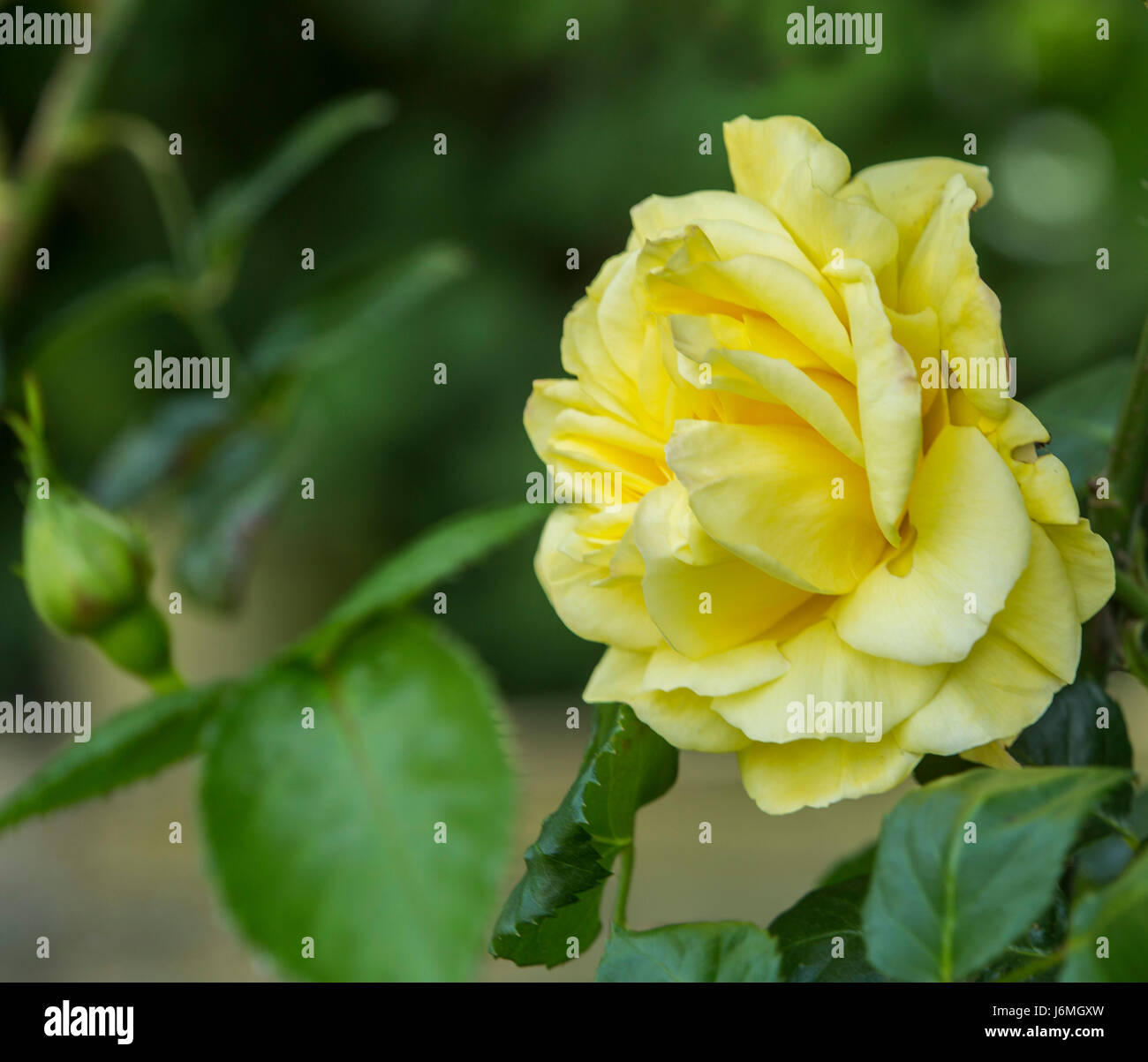 Arthur Bell Climbing Rose,climber, yellow climbing rose, given the Award of Garden Merit given by the Royal Horticultural Stock Photo