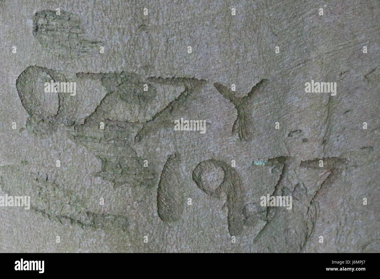 Word Ozzie 1977 carved into a tree trunk - Stock Image