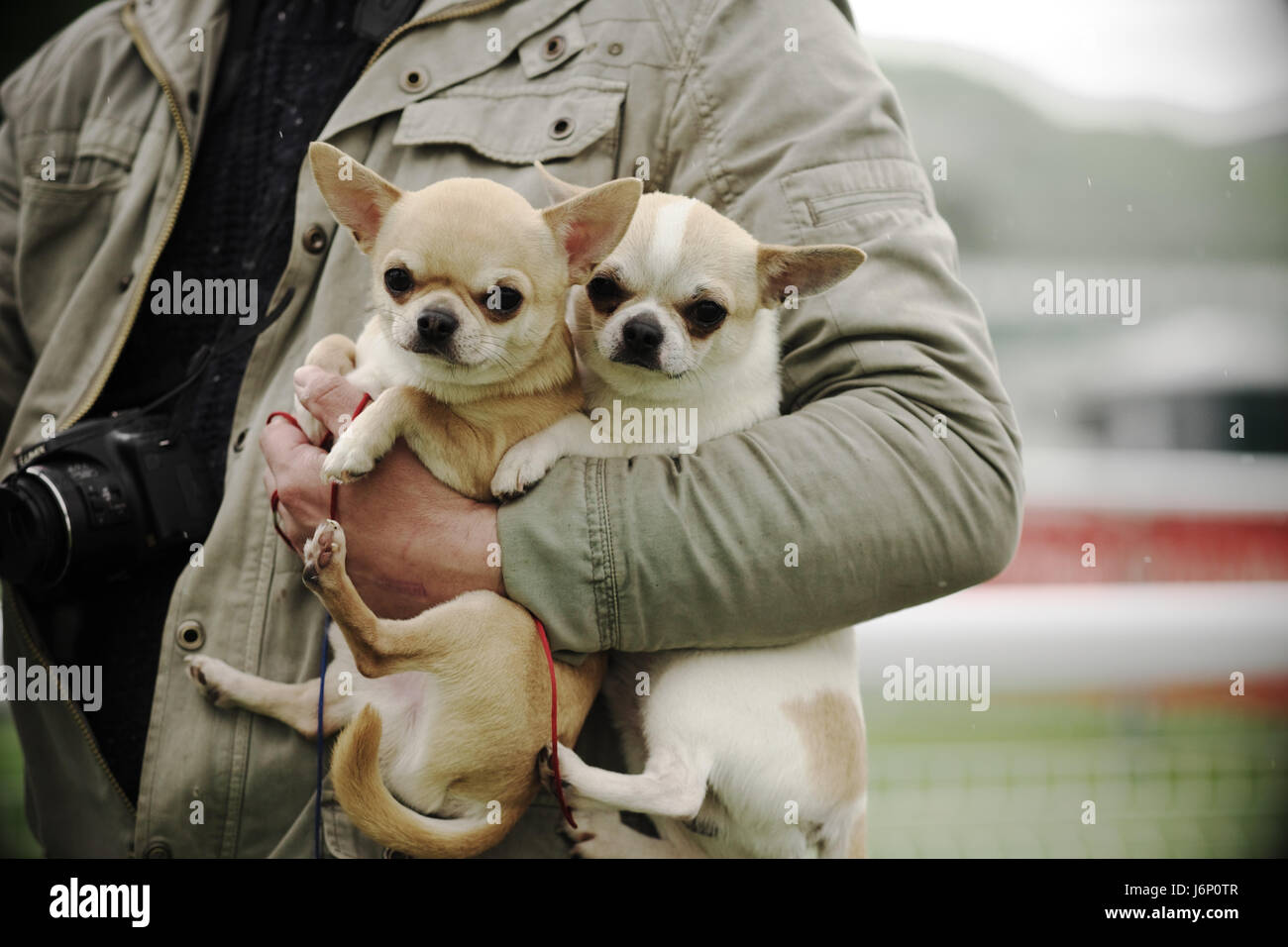 Man carrying two short haired Chihuahua dogs under his arm toy dogs - Stock Image