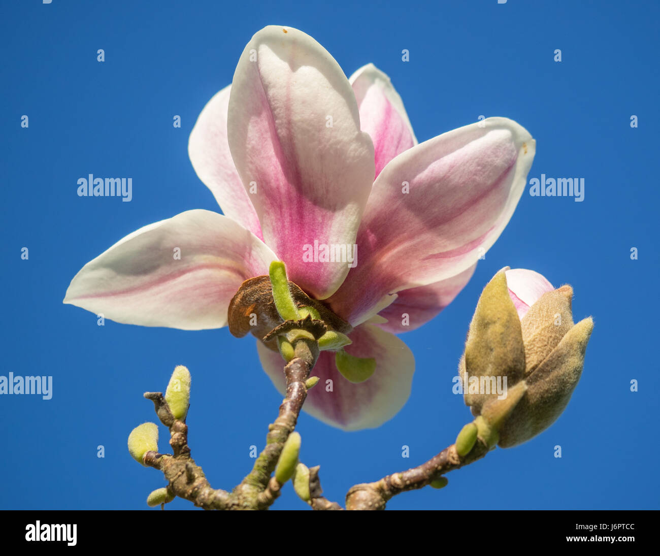 a close up of three 3 white with pink centre center Magnolia bloom blossoming on a branch with bud buds, against Stock Photo