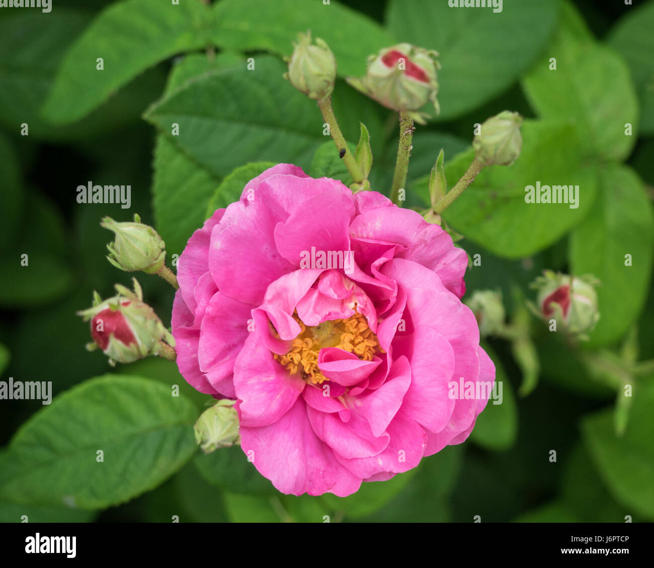close up macro detail face on from above a pink red wild rose flower in full bloom blooming blossoming with few - Stock Image
