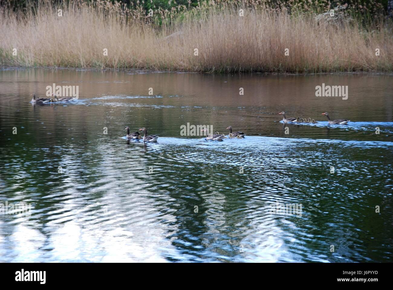 reed sweden bird birds sweden water baltic sea salt water sea ocean offspring Stock Photo