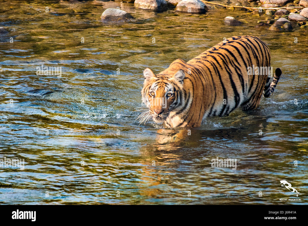 Tiger river crossing - Stock Image