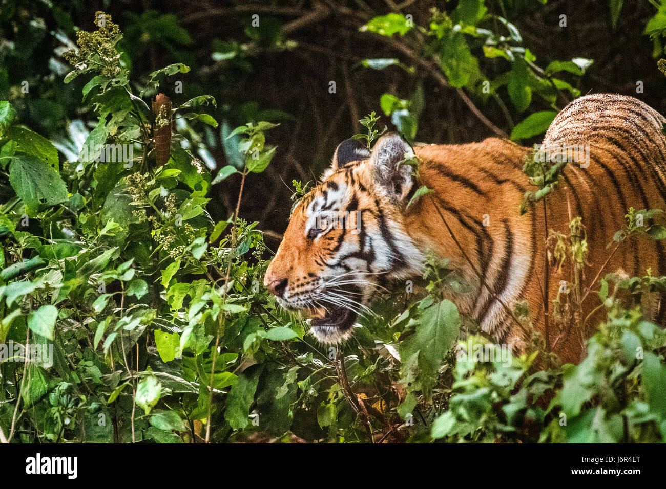Tiger in motion - Stock Image