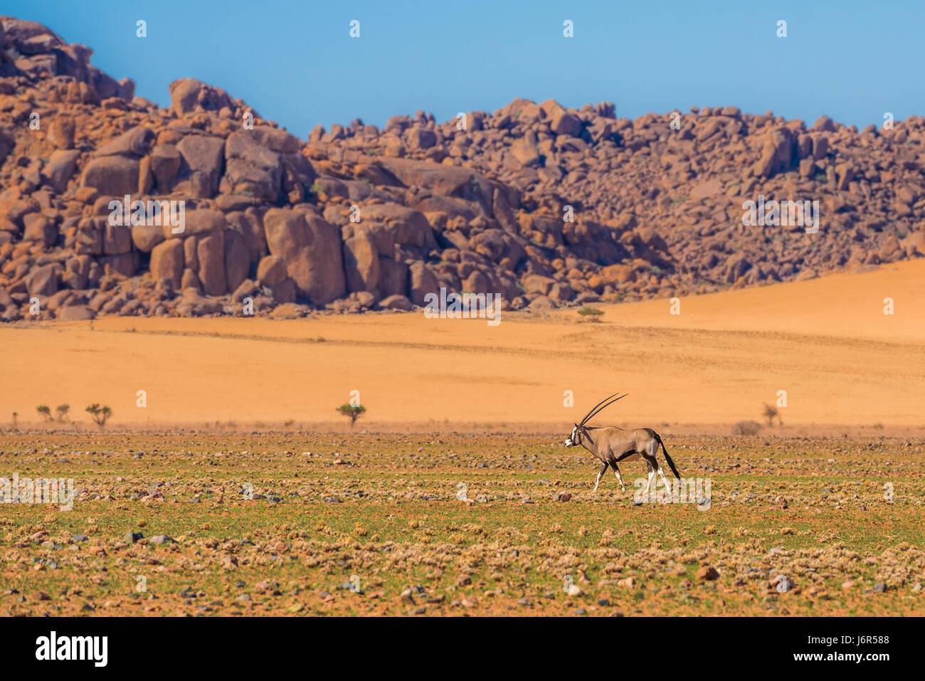 Oryx antelope in Namib-Naukluft national park, Namibia - Stock Image