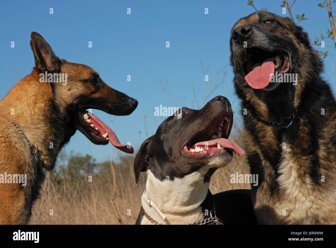 bull dog dogs three shepherd pit belgian blue friendship beautiful beauteously - Stock Image